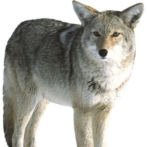 Montana Decoy Co Kojo Coyote Decoy